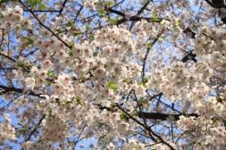 Cherry Blossom Korea