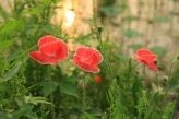 Red and Pink Poppy Semiwon Garden